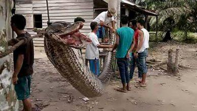 Indonesian Locals Feast on Python